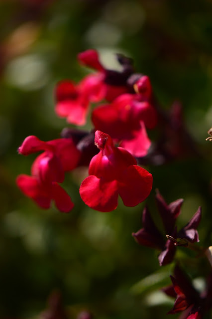 salvia greggii, autumn sage, small sunny garden, desert garden, amy myers, garden bloggers bloom day