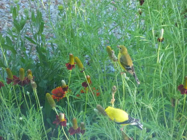 Goldfinches and Mexican hats (Ratibida columnifera)