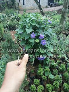 tanaman rambat yang memiliki bunga berwarna ungu