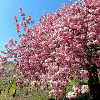 Erguvan Ağacı Fiyatı Erguvan Ağacı Bakımı ve Yetiştirilmesi