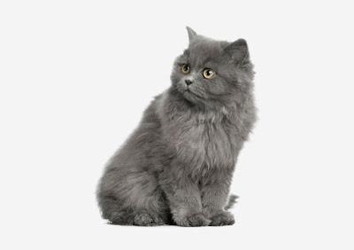 Kucing British Semi Longhair