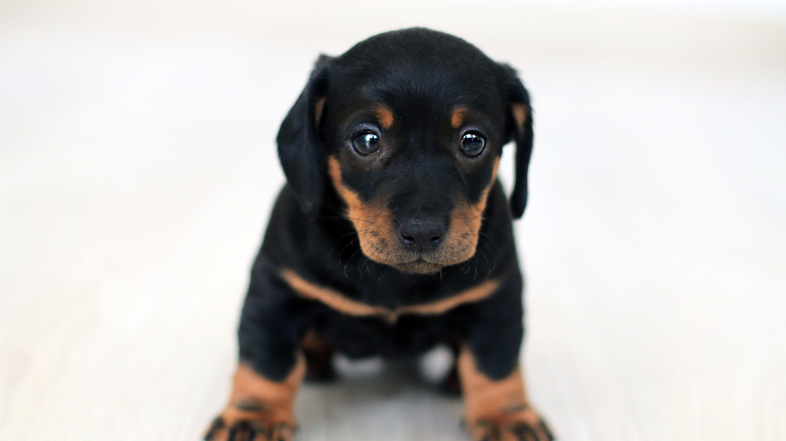 close-up-photography-of-black-and-tan-puppy-dog-pictures