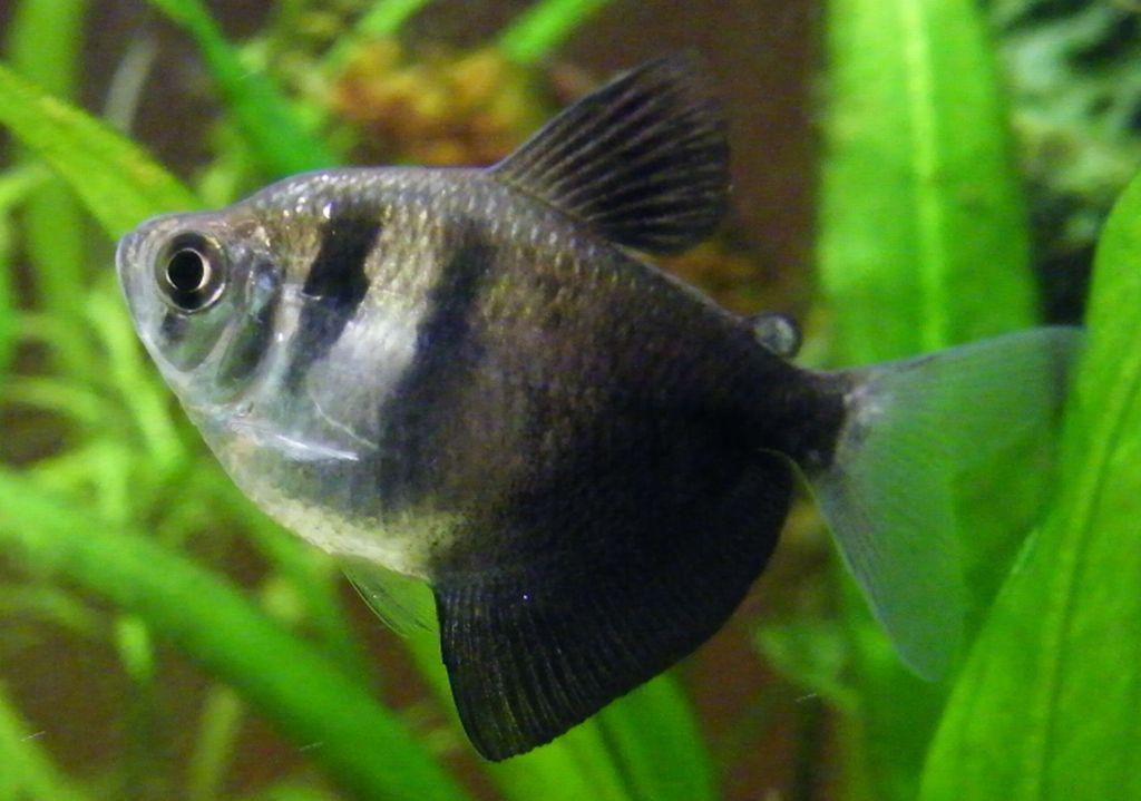 Mengenal Dan Merawat Ikan Black Tetra Lovedfish