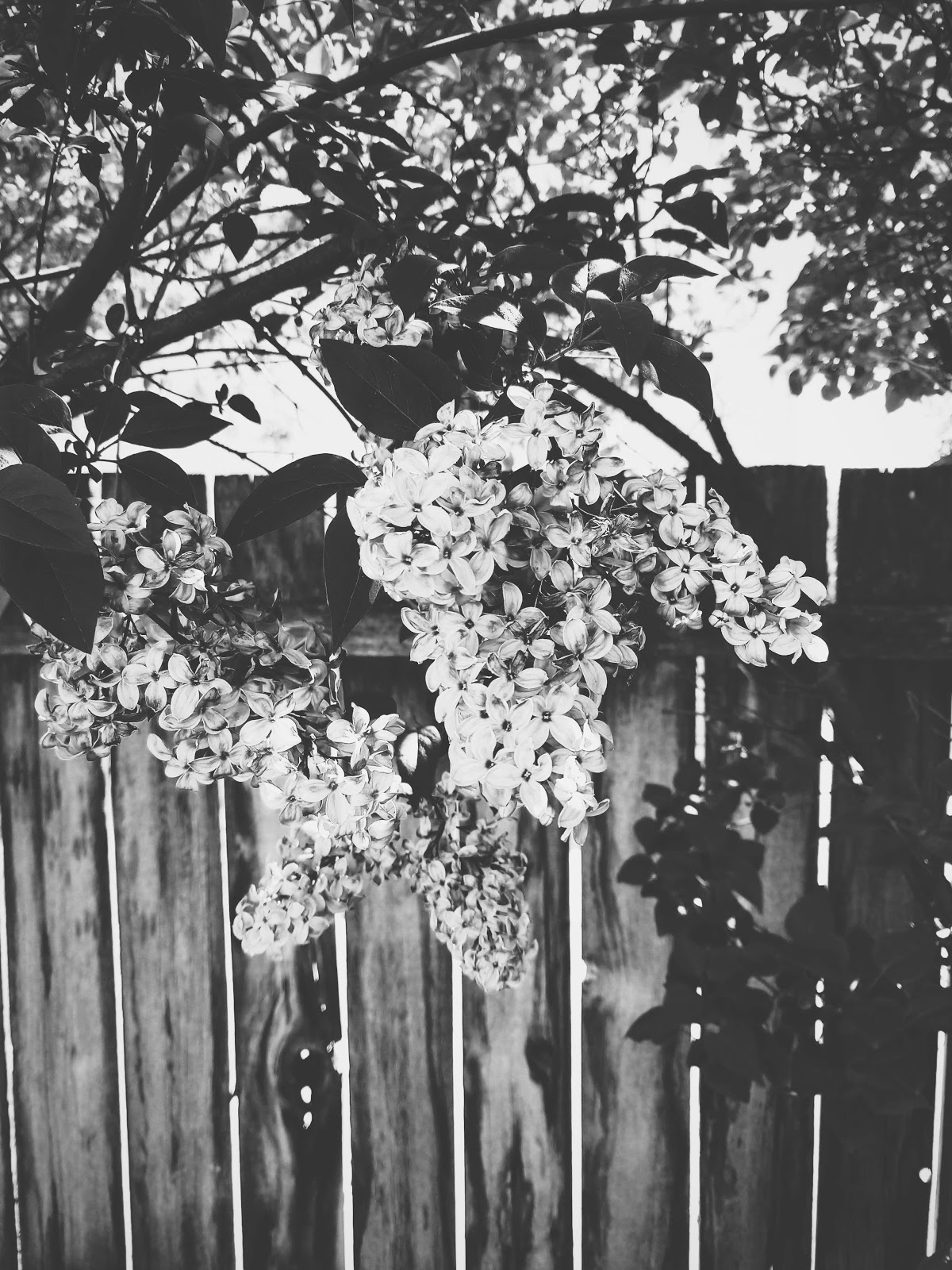 lilac blossoms // life in black & white series // www.thejoyblog.net
