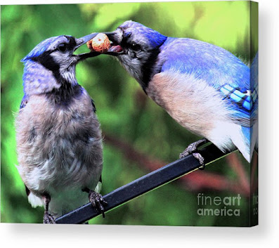 This is a screen shot of one of my images of Blue Jays which has been rendered on to acrylic and is available in different sizes via Fine Art America. https://fineartamerica.com/featured/blue-jays-wooing-2-patricia-youngquist.html?product=acrylic-print