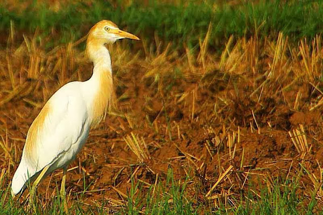 red and white Cattle Egret in field