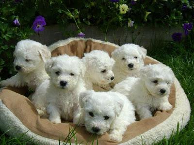 camada de perros malteses