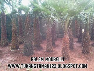 Harga jual pohon palm moreli
