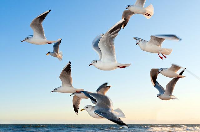 تحليق طيور النورس
