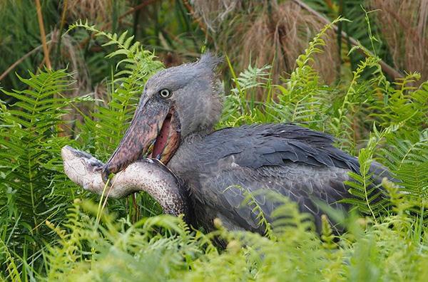 Cò mỏ giày Shoebill stork