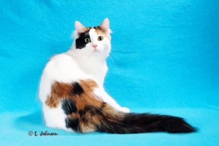 Turkish Van Cat Photos