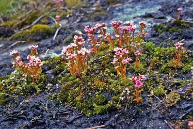 Sedum villosum - Hairy stonecrop - Purple stonecrop care and culture