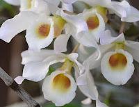 Como fazer a Dendrobium florir