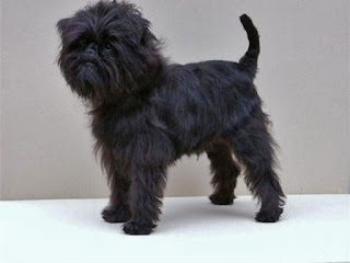Everything about your Affenpinscher