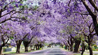 A row of purple Jacaranda trees with purple blooms and black trunks.