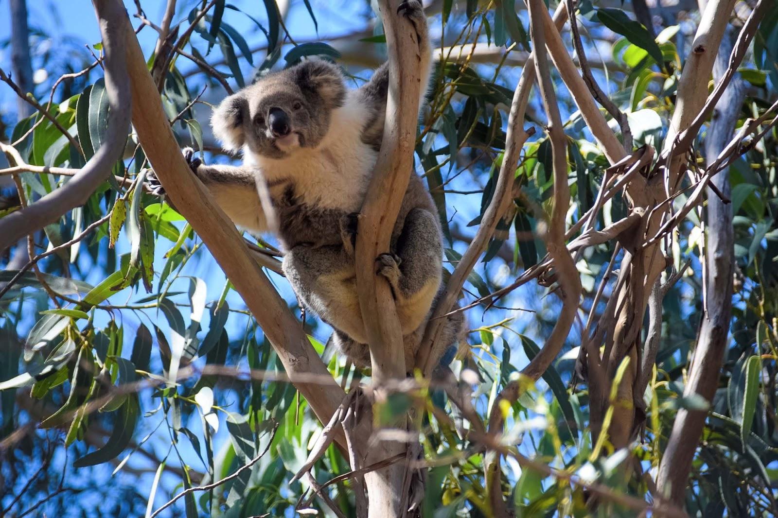 koala at hanson bay wildlife sanctuary