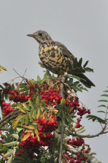 Mistle thrush in the rowan
