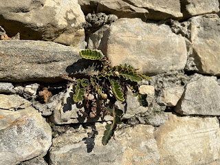 A photo of Asplenium cetarach on a sunny wall of the Scaletta Scorlazzino in Bergamo.
