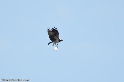 Àguila pescadora amb el seu peix