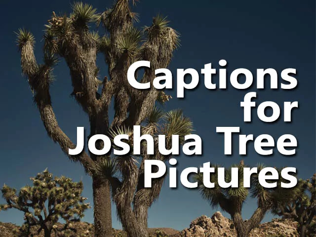Joshua Tree Captions and Joshua Tree Quotes and Joshua Tree Sayings Puns Phrases for Instagram Photos and Pictures