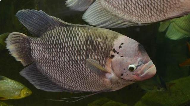 Pusat Supplier Jual Ikan Gurame Bibit & Konsumsi Ambon, Maluku