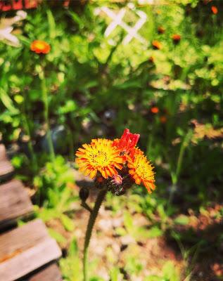oranssivoikeltano kuivalla ja aurinkoisella paikalla