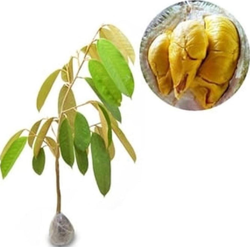 Paket 2 Bibit Buah Durian Musangking bonus jeruk santang Tanaman Buah Hidup Palangkaraya
