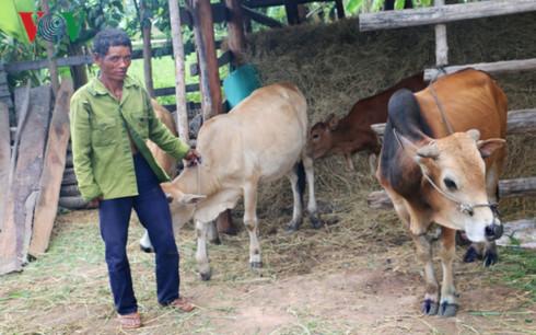 """Gia Lai: Hàng chục con bò sùi bọt mép chết bất thường, dân vẫn ăn """"vô tư"""""""