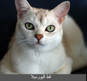 قط البورميلا