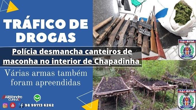 Polícia desmancha canteiros de maconha no interior de Chapadinha