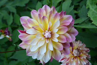 bunga dahlia artinya