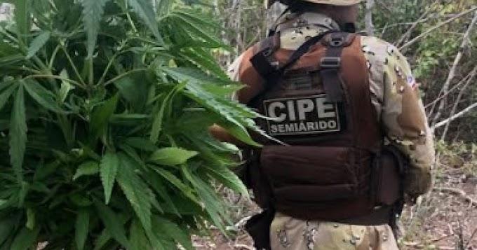 Polícia Militar erradica cerca de 40 mil pés de maconha em Xique-Xique