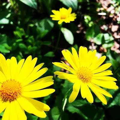 Kevätvuohenjuuri kukkii touko-kesäkuussa