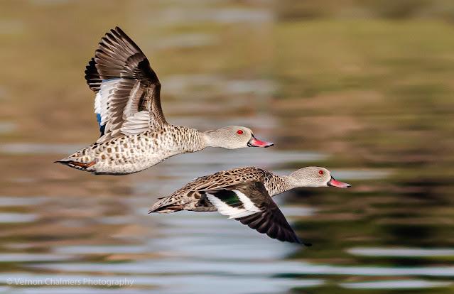 Cape Teal Ducks Diep River Milnerton Woodbridge Island