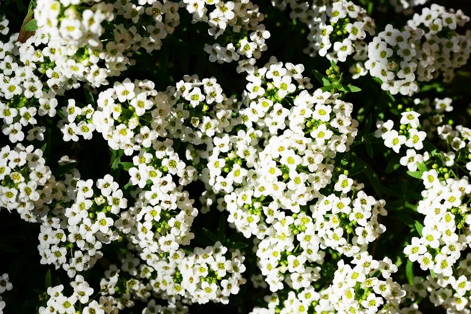 Tanaman Hias Bunga Alyssum