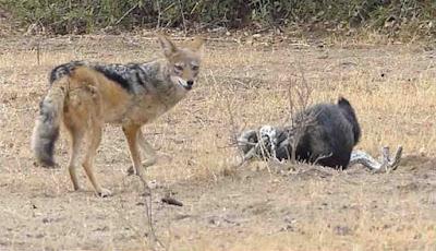 Musang madu digulung serigala datang
