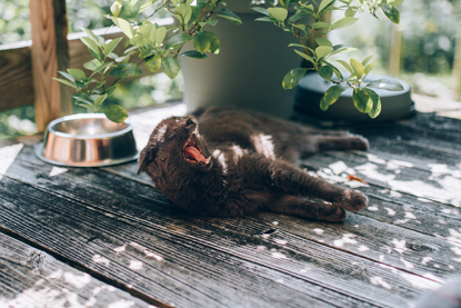 grey cat lying in the shade and yawning