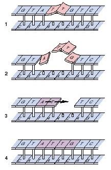 Penyebab Point Mutation (Mutasi titik) pada DNA, ultra violet penyebab mutasi, Mutasi DNA, mutasi DNA karena sinar ultra violet