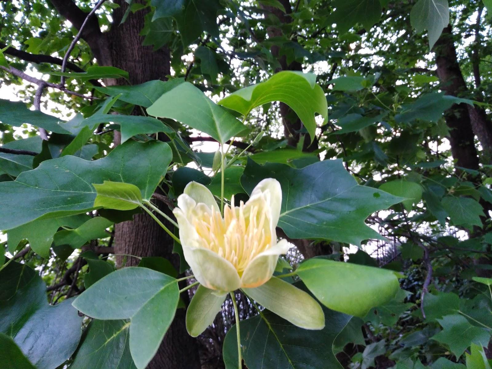 Alberi Ad Alto Fusto Quali Sono il gusto della natura: albero dei tulipani (liriodendron