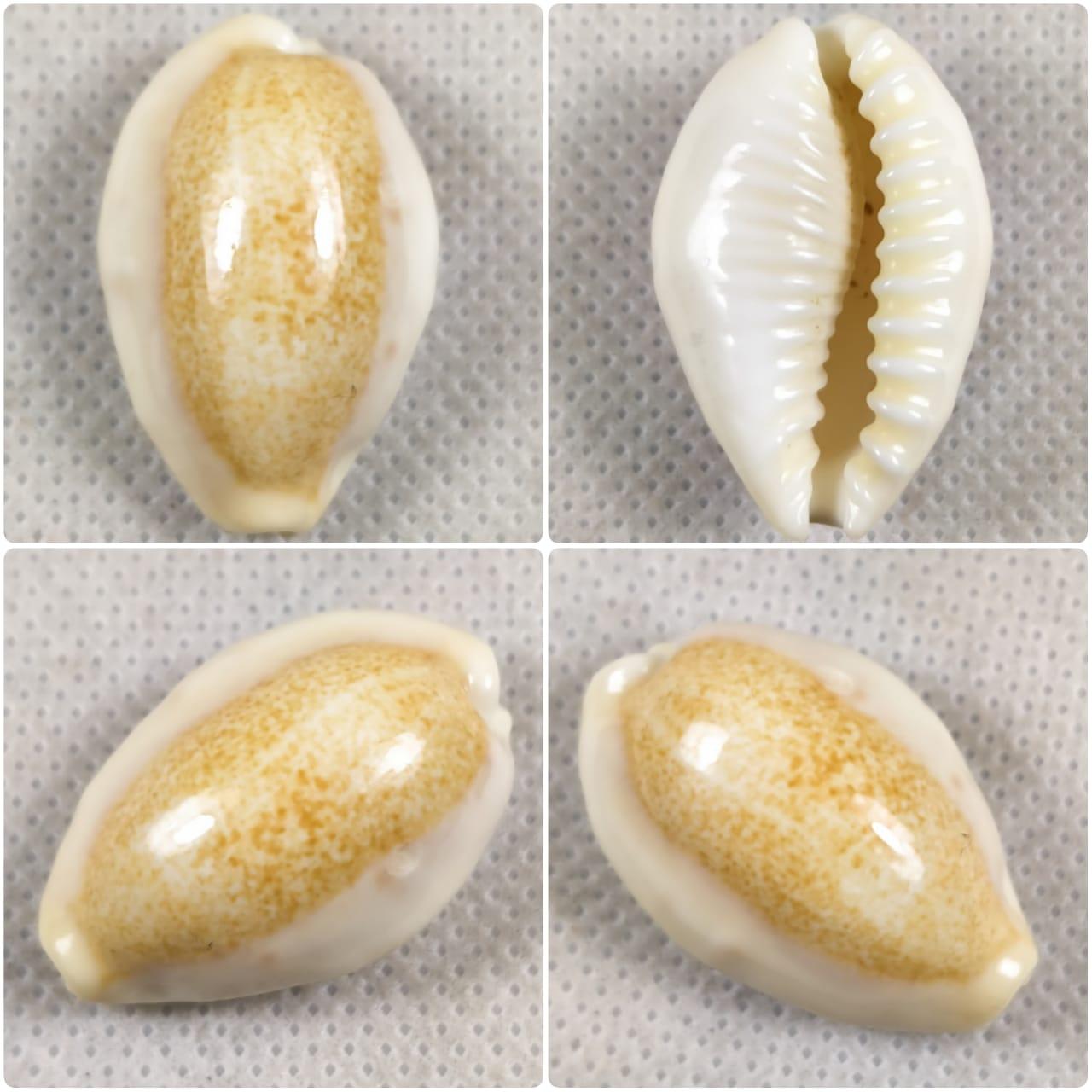 E. Caurica d'Indonésie Nw