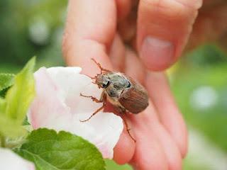 thuốc đặc trị bọ cánh cứng gây hại trên hoa hồng
