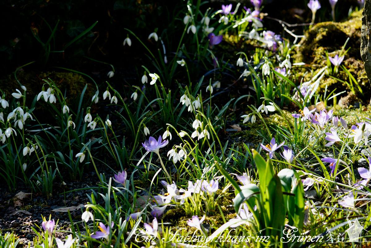 Gartenglück, Bienen, Gartenblog, Krokus, Schneeglöckchen, Bienenwiese