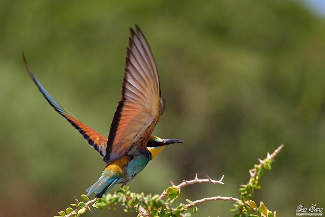 European Bee-Eater Takeoff