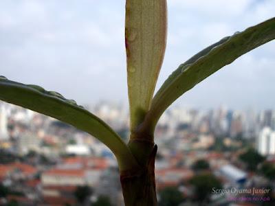 Espata floral em orquídea Cattleya