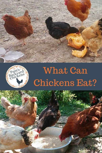 Feeding chickens scraps from the kitchen is a great way to give them healthy treats and make sure your leftovers don't go to waste.