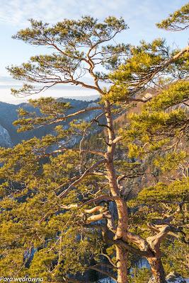 Sosna reliktowa - jeden z symboli Pienińskiego Parku Narodowego - w pełnej krasie