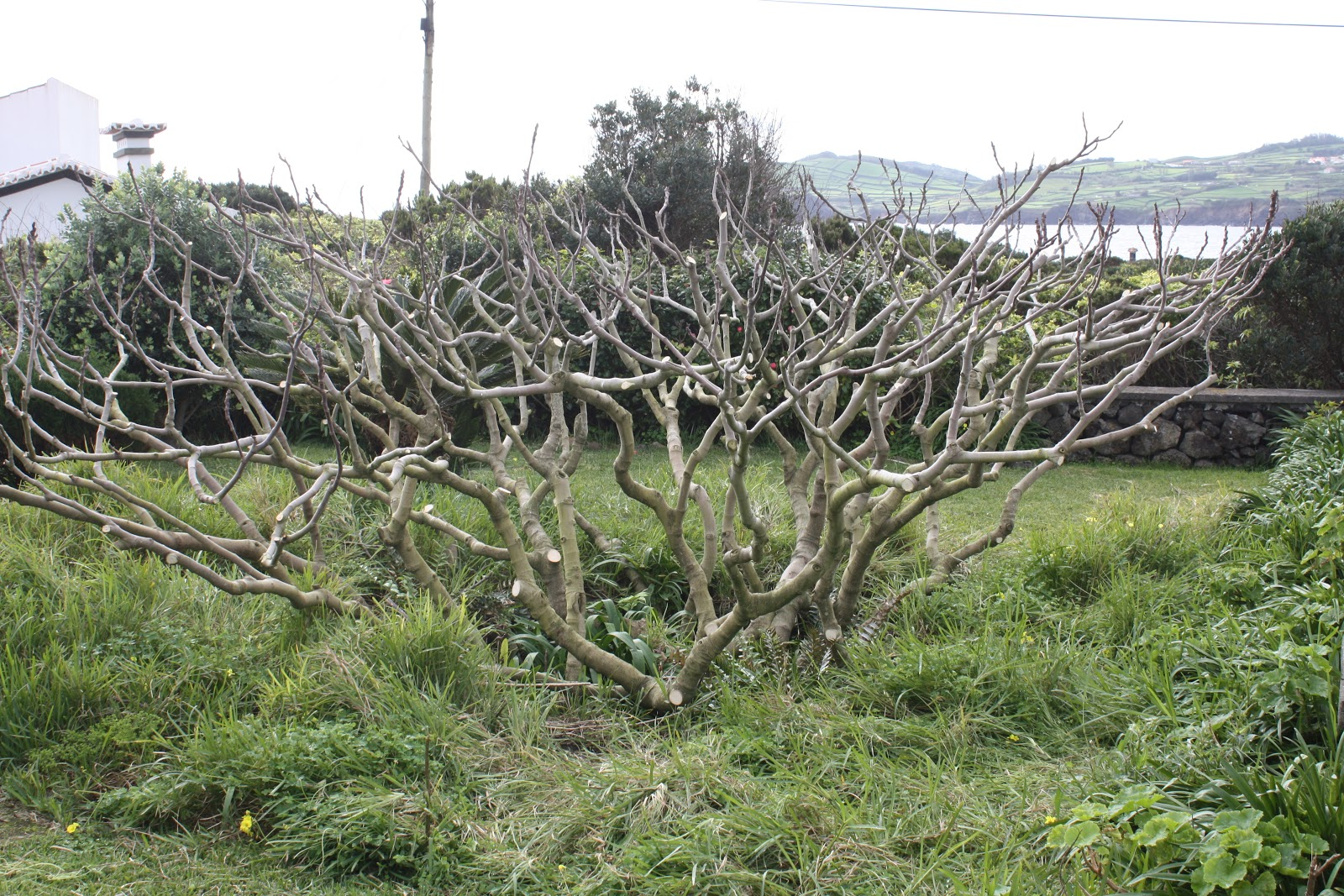 Pruning The Fig Tree Wood