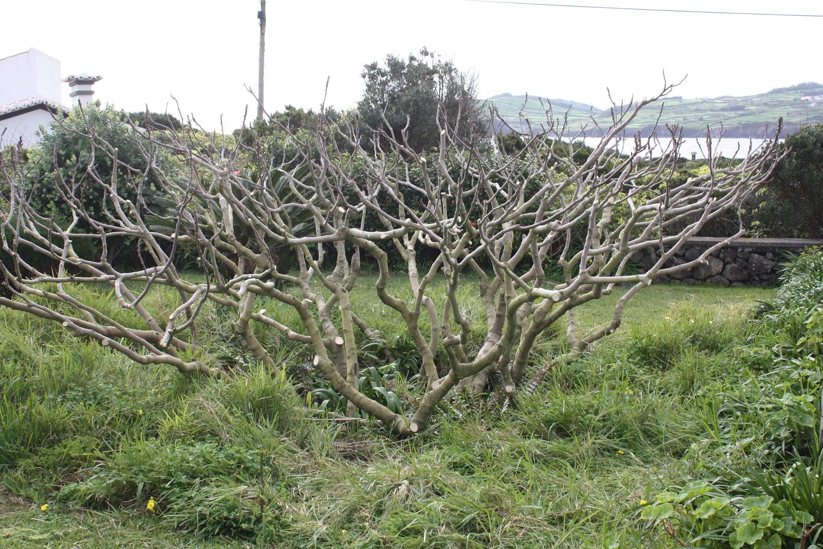 Fig Tree Pruning Florida