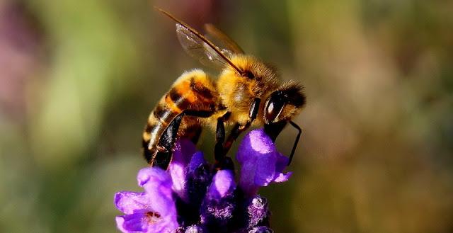 Cara memutikan kulit wajah dengan madu