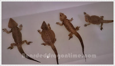Care for bearded dragon